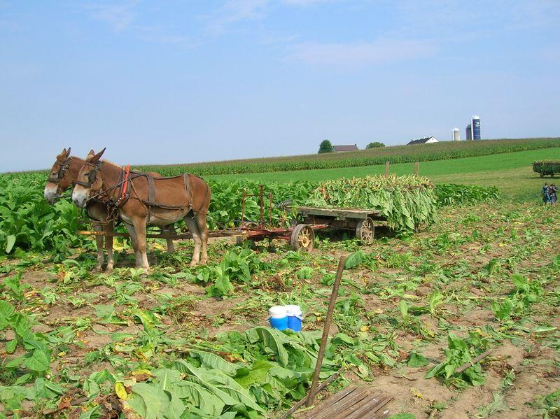 Lancaster Amish tobacco mules